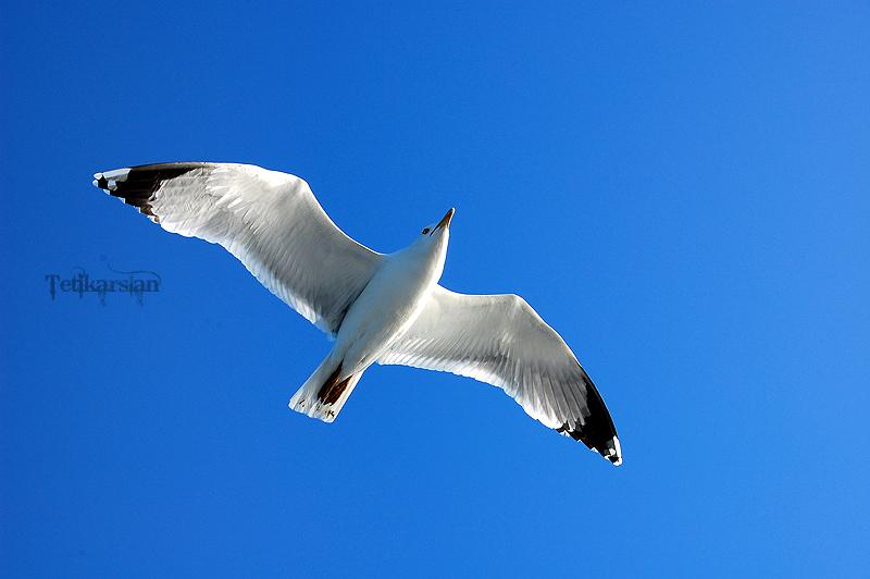 seagull by tetikarslan@DeviantArt
